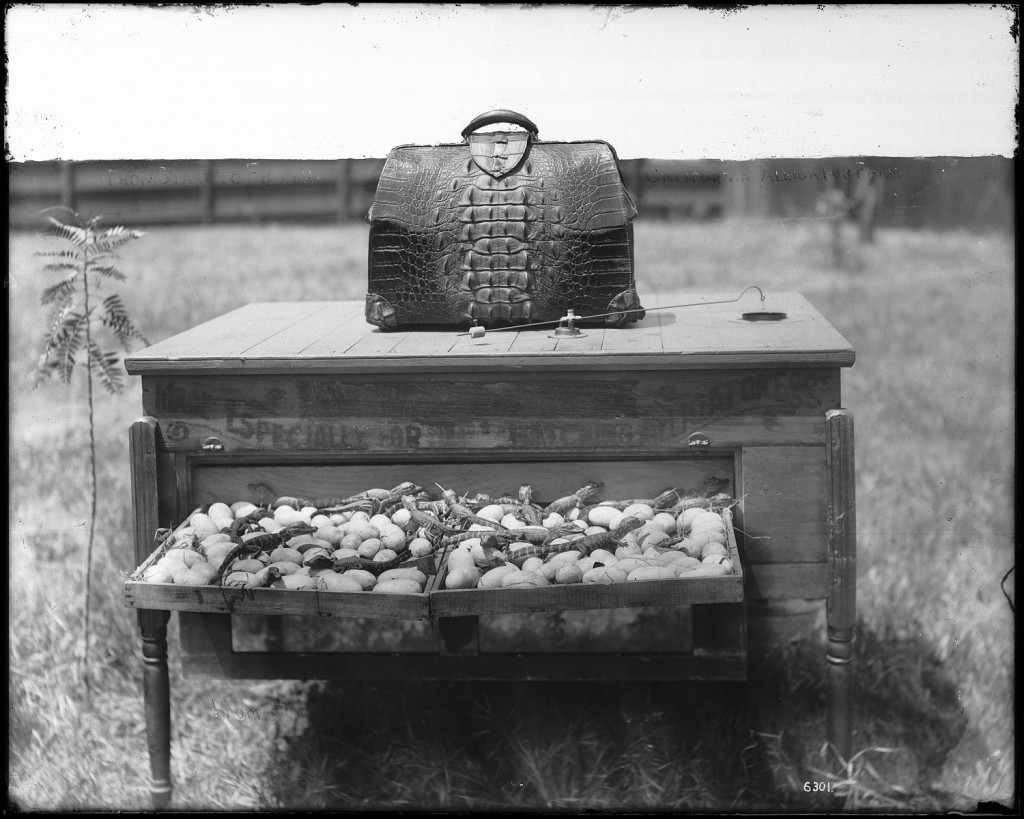An_incubator_on_an_alligator_farm_(possibly_the_California_Alligator_Farm,_Los_Angeles),_ca.1900_(CHS-6301)